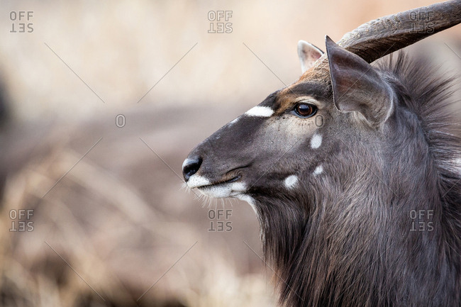 The side profile of the head of a male nyala, Tragelaphus angasii, ears up and perked, looking away