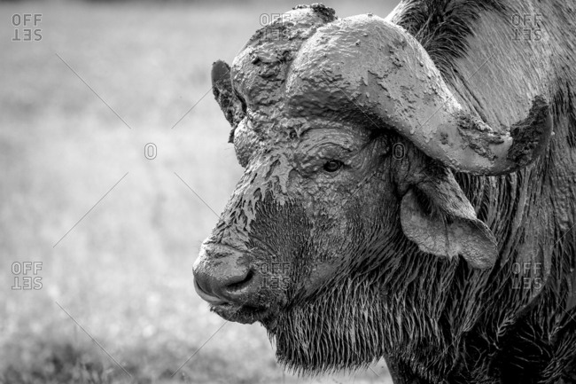 The head of a buffalo, Syncerus caffer, head covered in mud, wet fur, looking away, in black and white