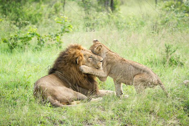A male lion, Panthera leo, lies in green grass, a lion cub wraps its from leg around male's head while playing, looking away