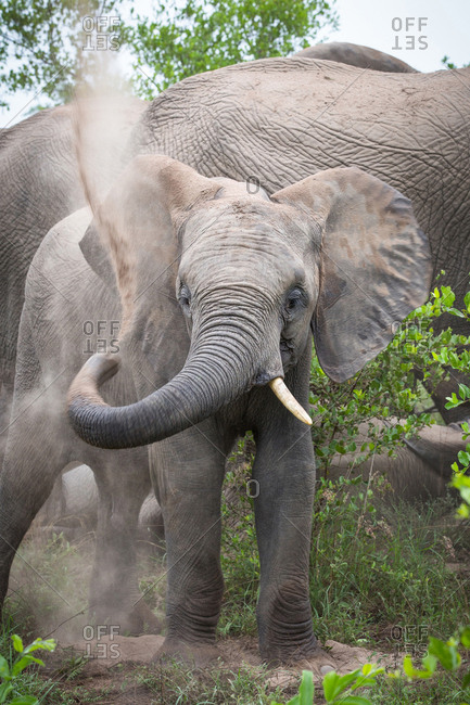 An elephant, Loxodonta africana, has a sand bath, lift trunk up and spray back with sand, alert, one tusk, elephant in background