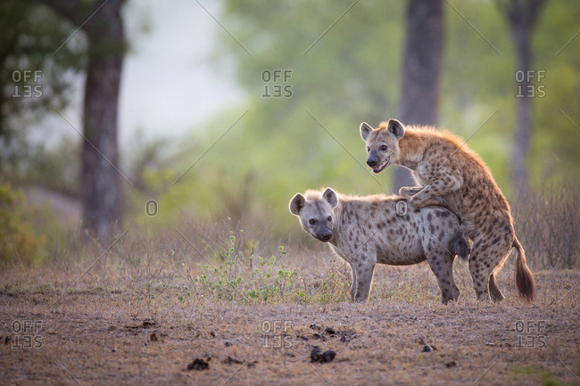 A spotted hyena male, Crocuta crocuta, mounts a female while mating, looking away, backlit