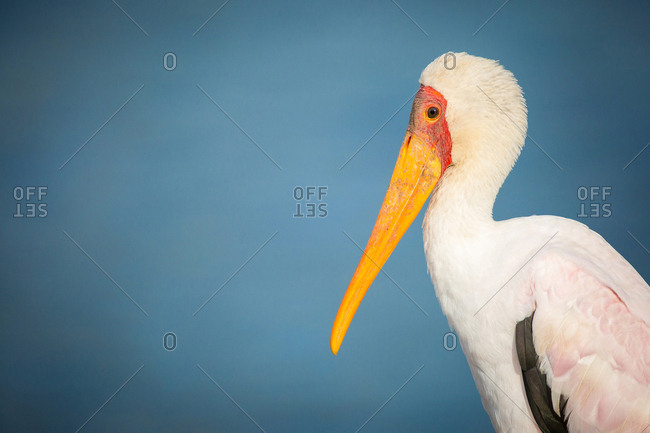 A side profile of a yellow-billed stork, Mycteria ibis, against yellow sky