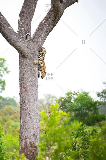A leopard, Panthera pardus, climbs down a vertical tree, greenery in background and foreground