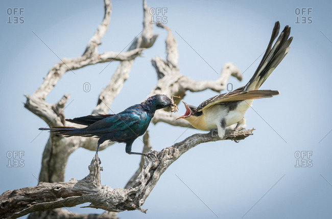 A Burchell's starling, Lamprotornis australis, perches on a branch and feeds a grasshopper to a Great Spotted Cuckoo chick, Clamator glandarius