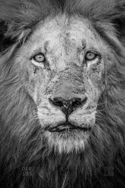 A black and white portrait of a male lion, Panthera leo, direct gaze with a mane and scarred nose.
