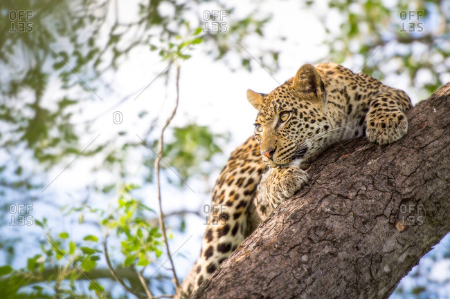 A leopard cub, Panthera pardus, clings onto a vertical marula tree trunk, Sclerocarya birrea, with its claws as it looks away