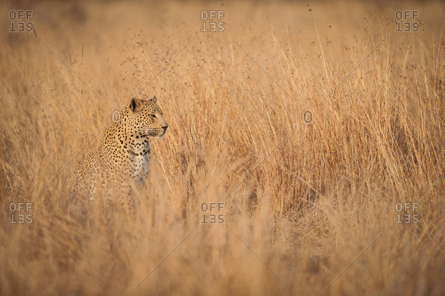A leopard cub, Panthera pardus, sits and looks away, sitting in long dry yellow-brown grass