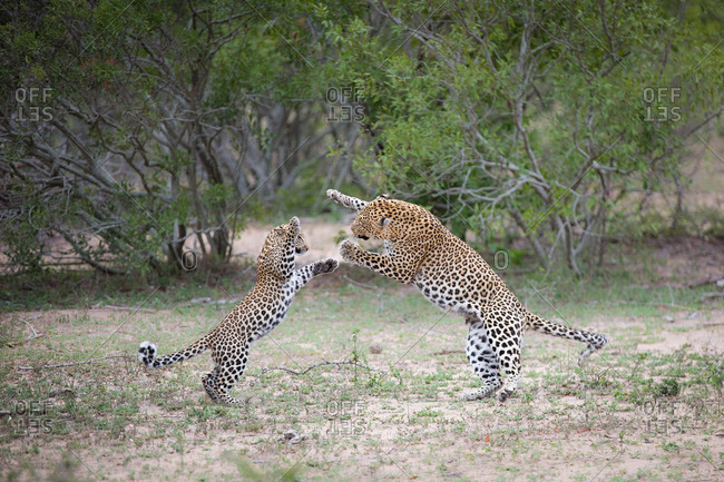 A leopard mother, Panthera pardus, and her cub, stand on their hind legs as they play fight, trees in the background
