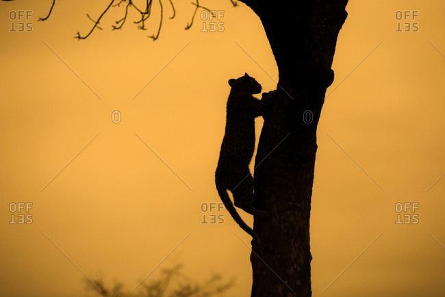 Silhouette of a leopard, Panthera pardus,climbing up a tree.