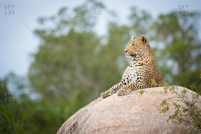 A leopard, Panthera pardus, lies on a boulder, looking away, trees and blue sky in background