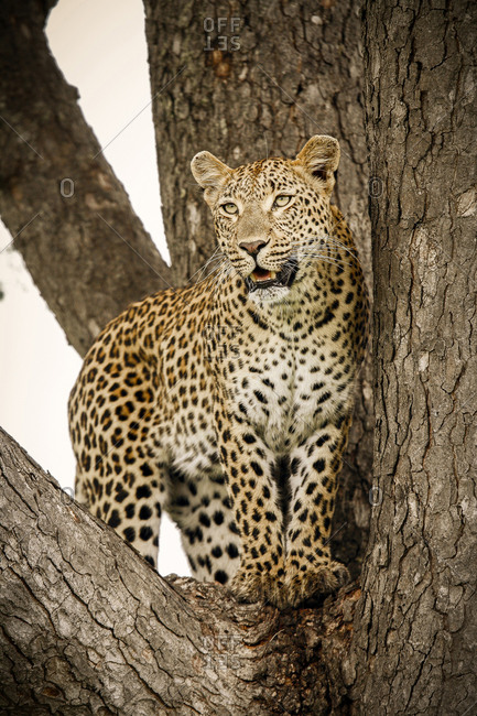 A leopard, Panthera pardus, stands in the fork of a tree, looking away