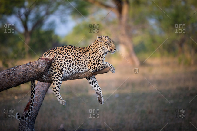 A leopard, Panthera pardus, lies on a broken tree branch, drapes its feet and tail over the branch, looking away, ears back