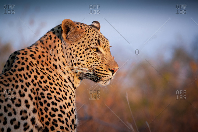 A leopard, Panthera pardus, turns over its right shoulder, looking out, ears back
