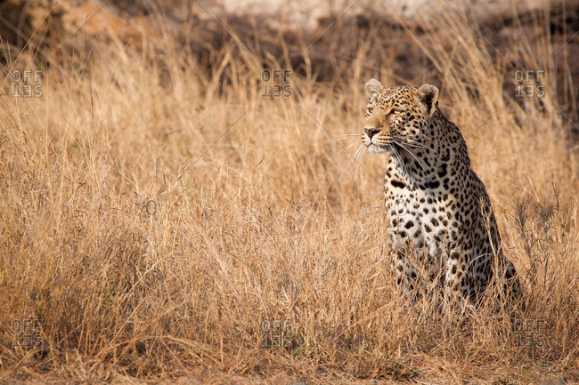 A leopard, Panthera pardus, sits in tall dry yellow grass looking around, ears facing forward