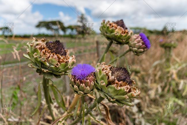 Artichokes with purple flower