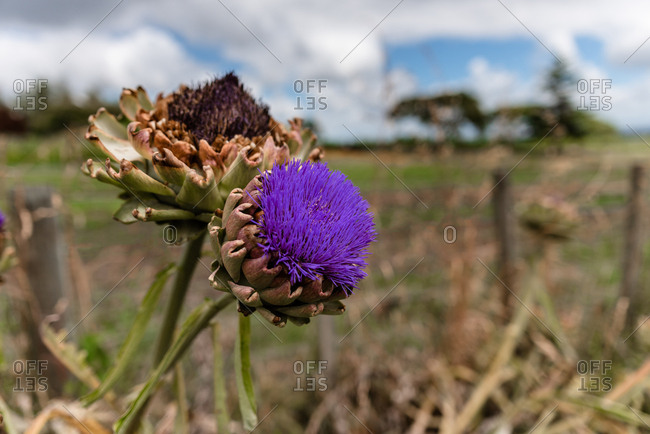 Close up of an artichoke with purple flower