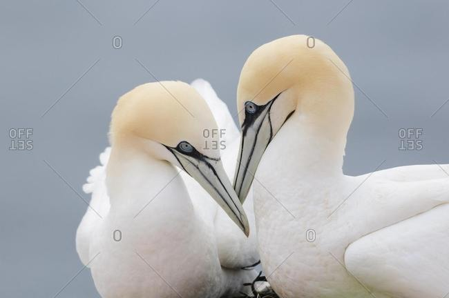 Two Northern Gannets (Morus bassanus), beaks touching, Heligoland, Schleswig-Holstein, Germany, Europe