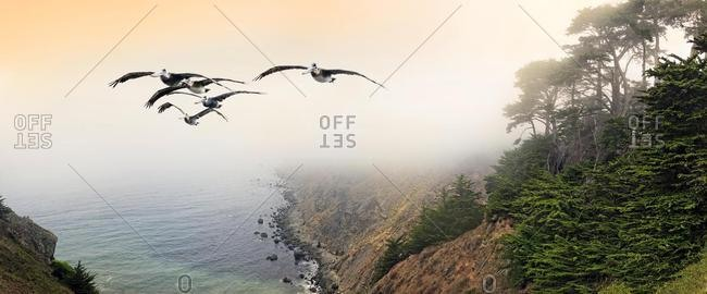 Group of brown pelicans (Pelecanus occidentalis) in flight on the Pacific Coast, Ragged Point, California, United States, North America