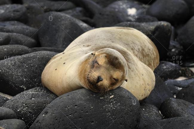 California Sea Lion (Zalophus wollebaeki), sleeping on lava rocks, Espanola Island, Galapagos, Ecuador, South America