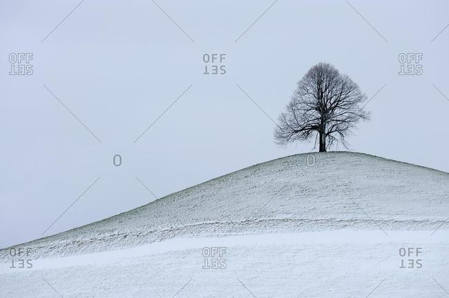 Lime tree, linden, basswood (Tilia) on freshly snow-covered moraine hill