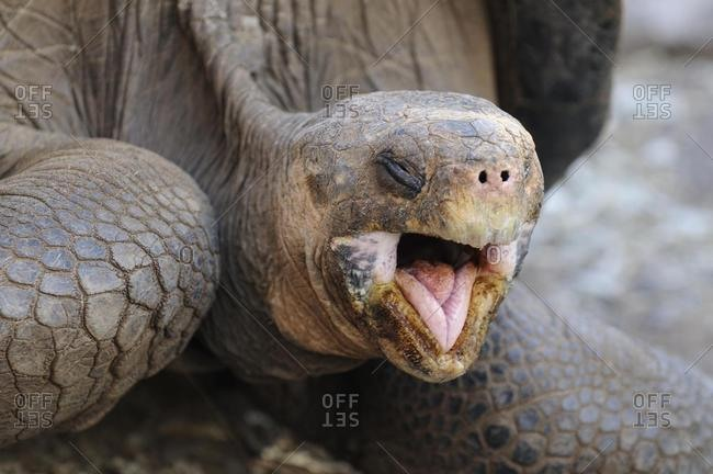 Head portrait of a Galapagos Giant Tortoise (Geochelone elephantopus), Galapagos, Ecuador, South America