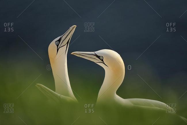 Gannets (Morus bassanus, Sula bassana) during courtship