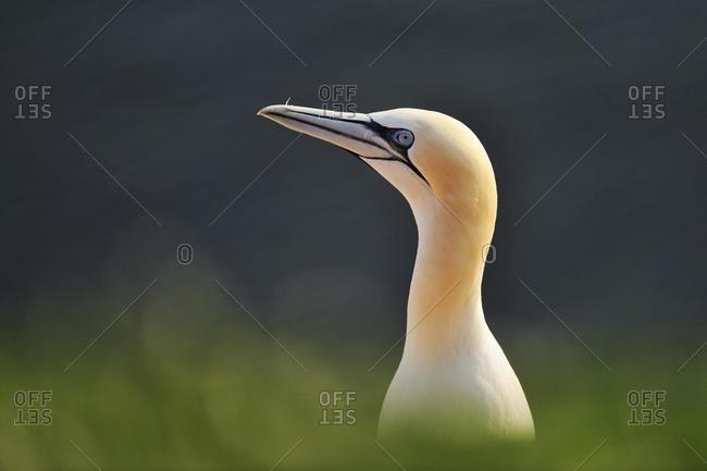 Gannet (Morus bassanus, Sula bassana)