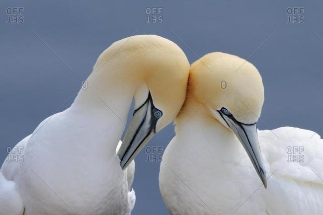 Northern Gannets (Morus bassanus, Sula bassana), courtship display