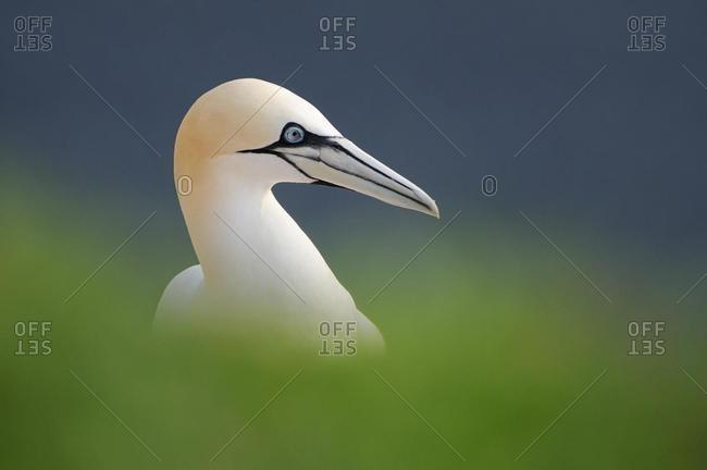 Gannet (Morus bassanus) sitting in high grass