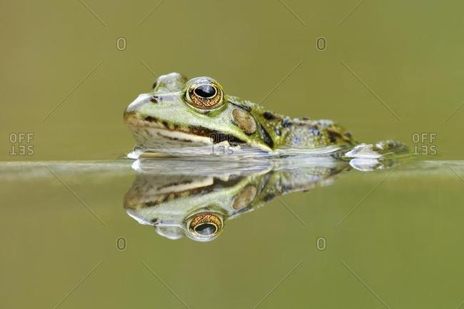 Water frog (Rana esculenta, Pelophylax kl. esculentus) with reflection