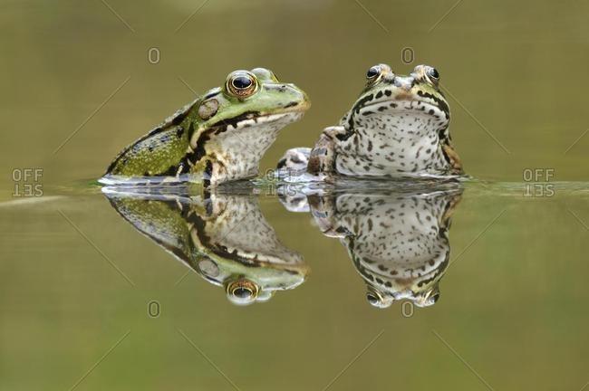 Water frogs (Rana esculenta, Pelophylax kl. esculentus) with reflection