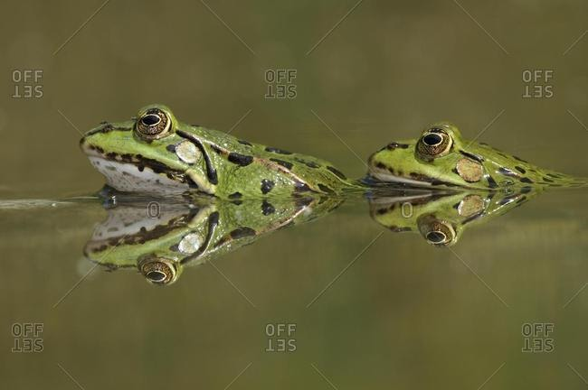 Water frogs (Rana esculenta, Pelophylax kl. esculentus) with reflection