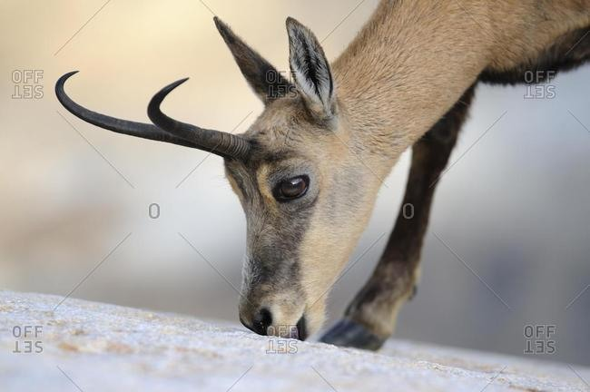 Chamois (Rupicapra rupicapra) licking minerals