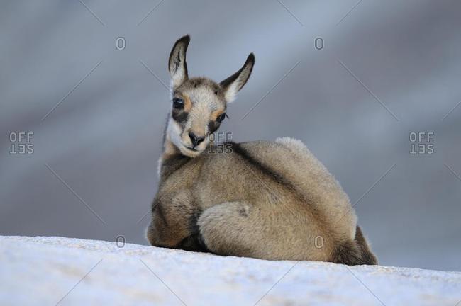 Chamois fawn (Rupicapra rupicapra) sitting on a rock ledge