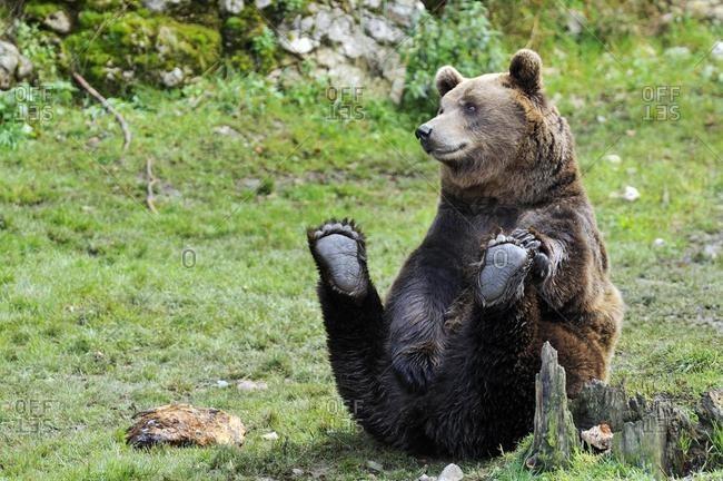 Brown Bear (Ursus arctos), sitting