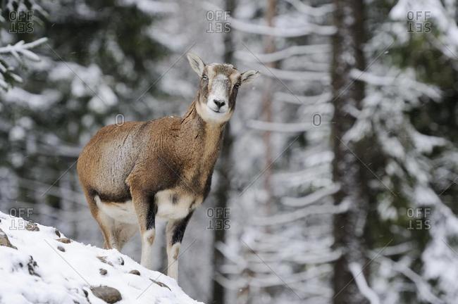 European Mouflon (Ovis orientalis musimon), female, in a snowy winter landscape