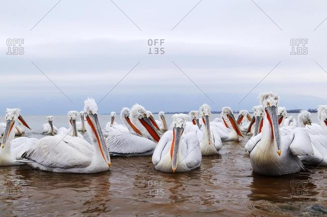 Dalmatian Pelicans (Pelecanus crispus), Lake Kerkini, Greece, Europe
