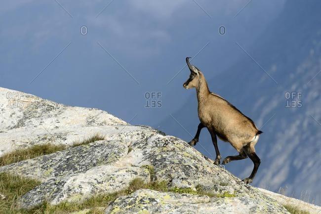 Chamois (Rupicapra rupicapra) climbing up a rock, Valais, Switzerland, Europe