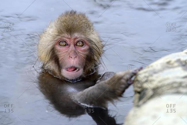 Young Japanese Macaque or Snow Monkey (Macaca fuscata), taking a bath in a hot spring, Affenpark Jigokudani, Nagano Pr�fektur, Japan, Asia