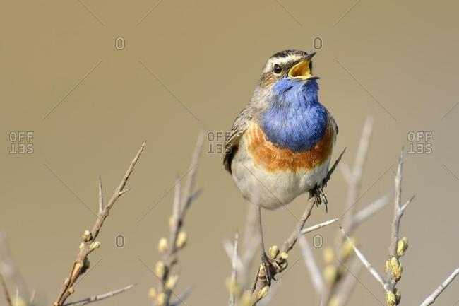 Bluethroat (Luscinia svecica cyanecula), singing on perch, De Geul, Texel, Texel, West Frisian Islands, province of North Holland, The Netherlands, Europe