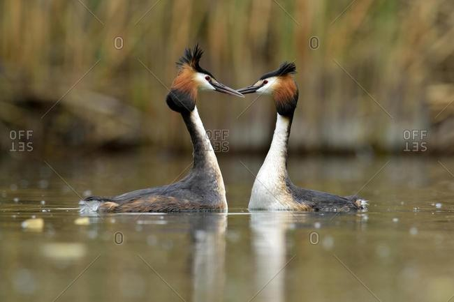 Great Crested Grebes (Podiceps cristatus) during a courtship display, Lake Lucerne, Luzern, Canton of Lucerne, Switzerland, Europe