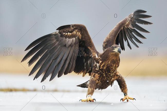 Young White-tailed Eagle (Haliaeetus albicilla), flapping its wings, Voivodeship, Poland, Europe