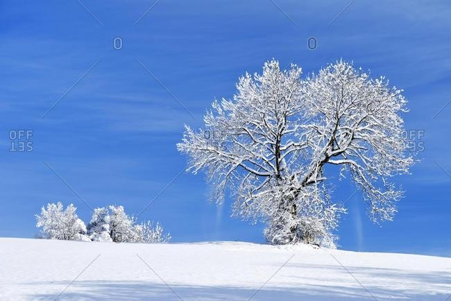 Landscape with snow-covered trees, Zugerberg, Canton of Zug, Switzerland, Europe