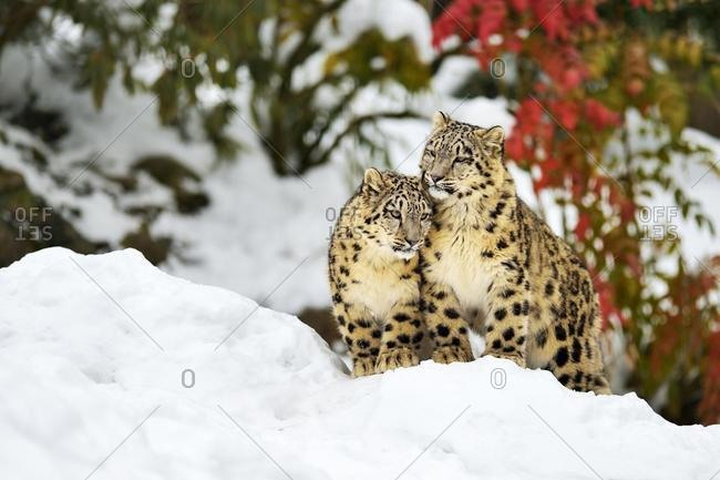 Two young snow leopards (Panthera uncia) sitting in the snow, captive, Canton of Zurich, Switzerland, Europe