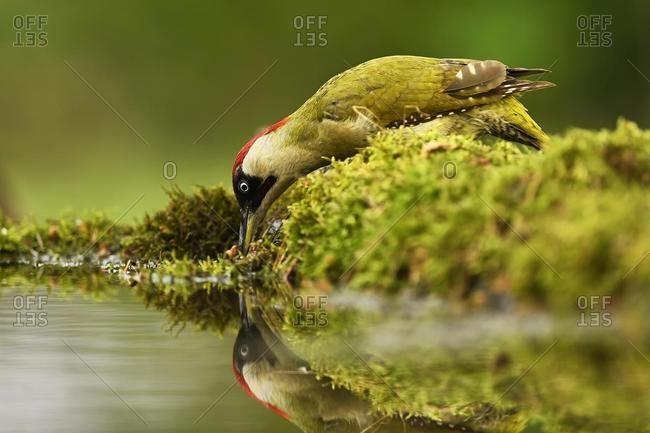 European green woodpecker (Picus viridis), male drinking water, Kiskuns�g National Park, Hungary, Europe