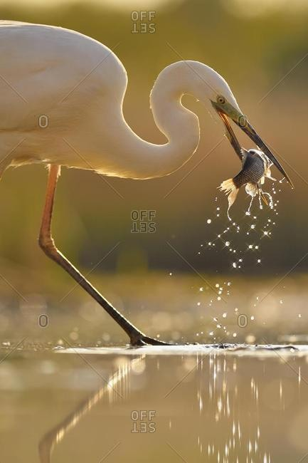 Great egret (Ardea alba), stands in the water with prey fish in the beak, National Park Kiskunsag, Hungary, Europe