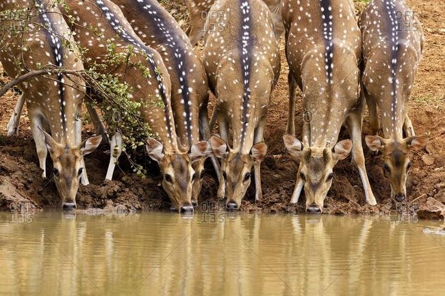 Chitals (Axis axis), herd drinking at waterhole, Wilpattu National Park, Sri Lanka, Asia
