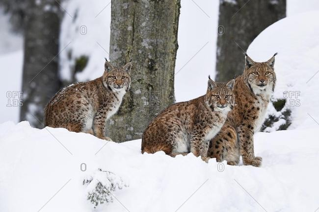 Eurasian lynxes (Lynx lynx), dam sits with cubs in the snow, captive, Germany, Europe