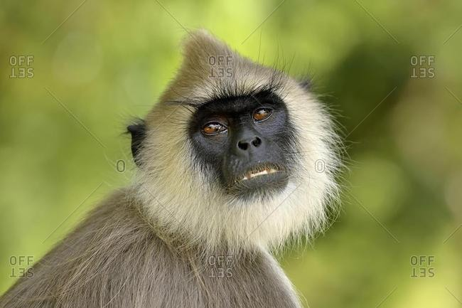 Tufted gray langur (Semnopithecus priam), animal portrait, Bundala National Park, Sri Lanka, Asia
