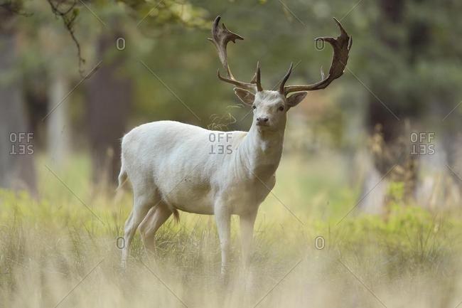 Fallow deer (Dama dama), with white fur, Jaegersborg Deer Park, Denmark, Europe